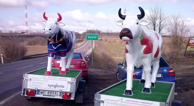 """""""Wypasione krowy"""" promują kukurydzę kiszonkową"""
