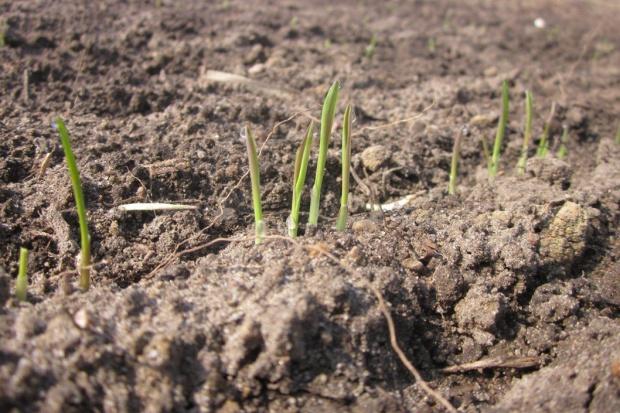 Mijają optymalne terminy siewów zbóż jarych