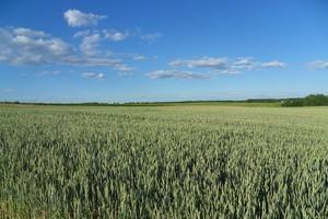 IGC-prognozy produkcji zbóż na świecie
