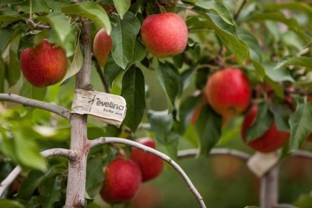 Zapasy jabłek w Polsce