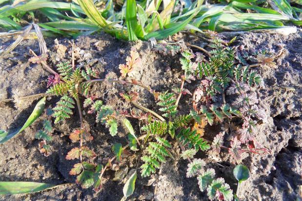 Obniżona dawka herbicydu