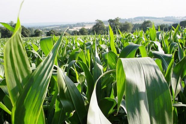 Nawożenie kukurydzy w technologii Yara