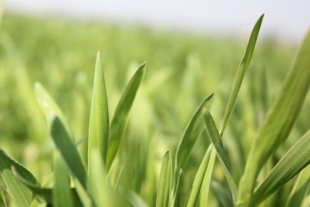 Okno nawozowe - sposobem na określenie terminów nawożenia zbóż