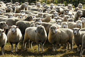 Owce wypasane w Bieszczadach