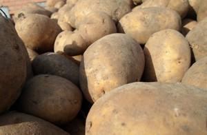 Ziemniak konsumpcyjny trafia na paszę