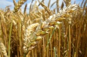 Vertisan 200 EC – fungicyd zbożowy