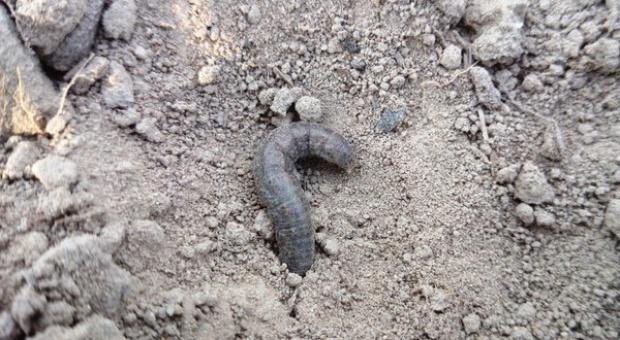 Szkodniki glebowe: rolnice, pędraki, drutowce - podgryzają