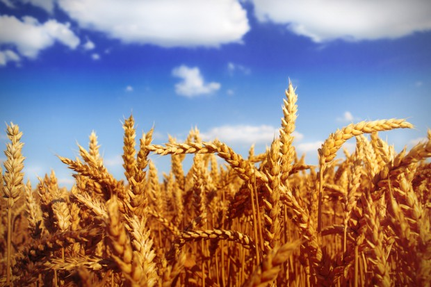 Ceny zbóż na krajowych giełdach powoli spadają