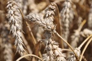 Wzrost ceny pszenicy.
