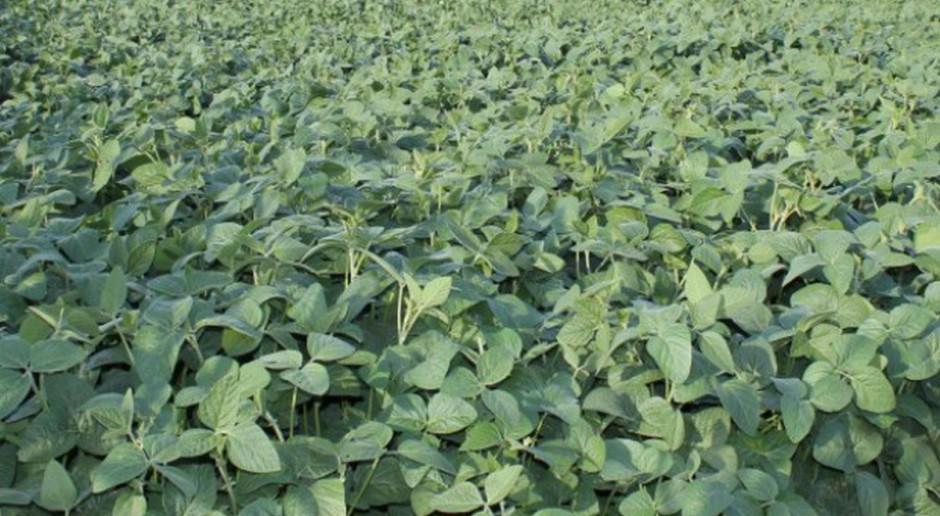 Większe zbiory soi niemodyfikowanej genetycznie w rejonie naddunajskim