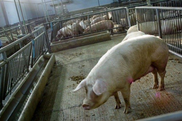 Małe zainteresowanie prywatnym przechowywaniem wieprzowiny