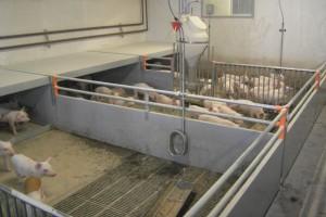 Zagospodarowanie nawozów naturalnych ogranicza rozwój sektora tuczu w Danii
