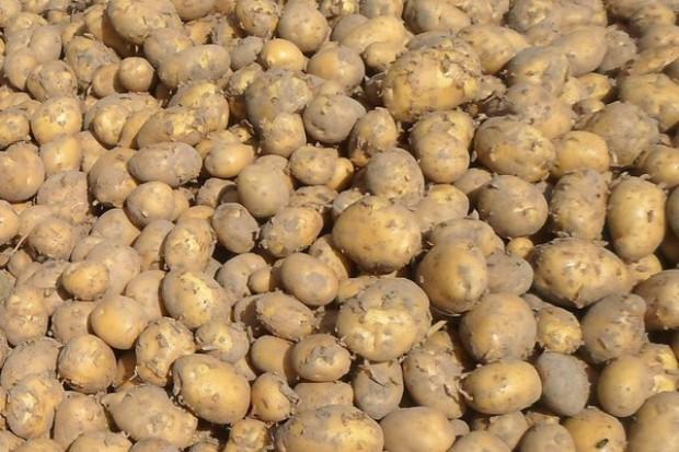 Ziemniaki w żywieniu świń
