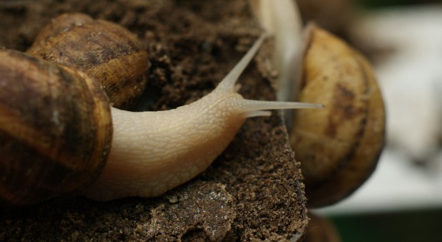 Wyhodowano nową odmianę ślimaka odporną na chłód