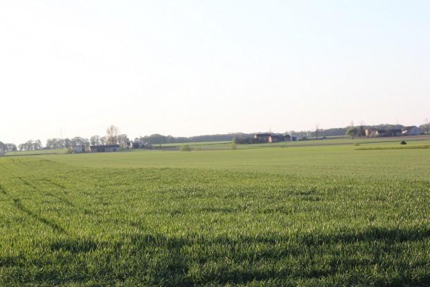 Odnotowano brunatną plamistość liści na pszenżycie ozimym