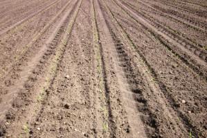 Wschody kukurydzy