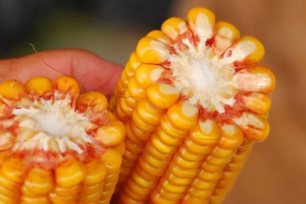 KE zezwala na import GMO