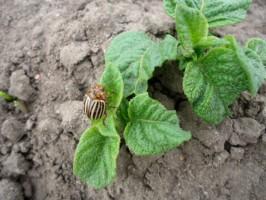 Wschodzą ziemniaki, pojawiły się pierwsze stonki ziemniaczane