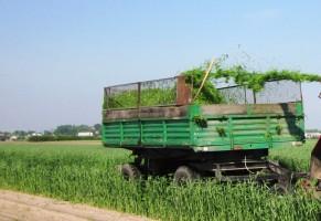 Pierwsze pokosy zielonek - żyto na kiszonkę