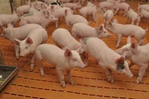 Wnioski o likwidacje stad trzody w ramach programu bioasekuracji