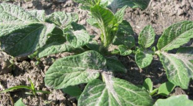 Wrażliwość odmian ziemniaka skrobiowego