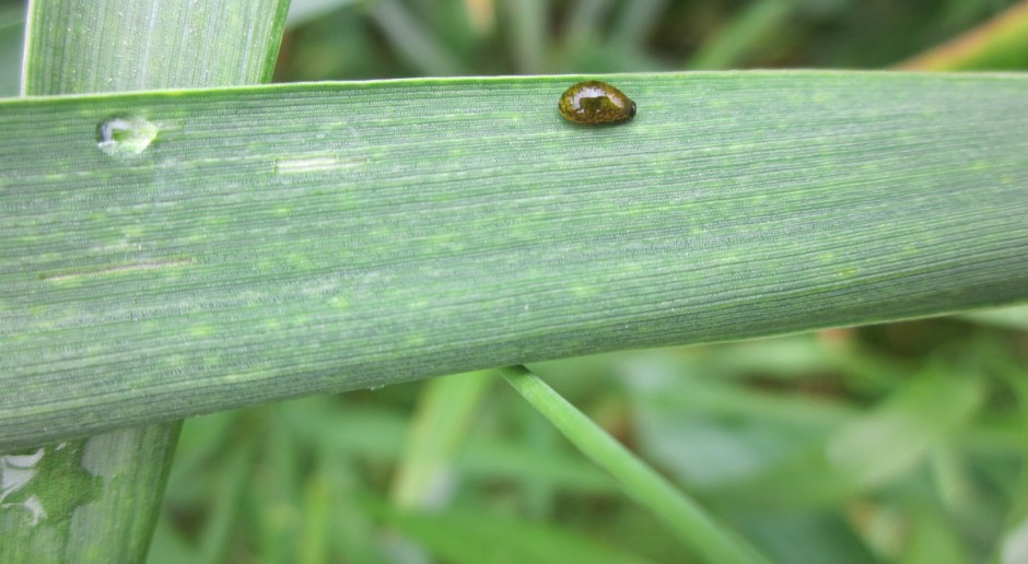 Są już larwy skrzypionek, również w zbożach jarych