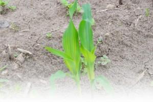 Kiedy dokarmiać dolistnie kukurydzę?