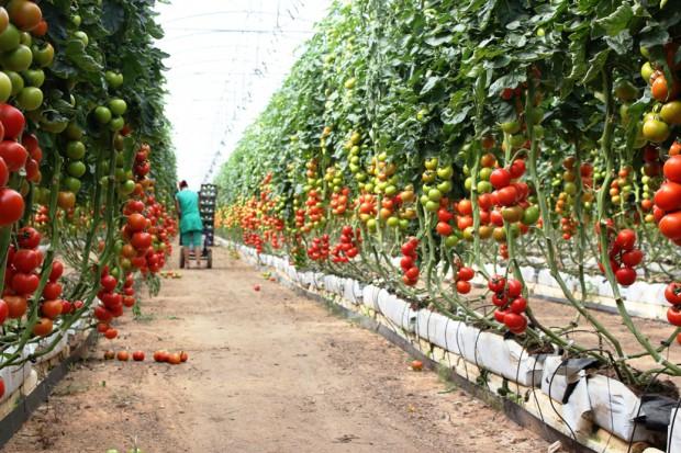 Topas 100 EC także w warzywach