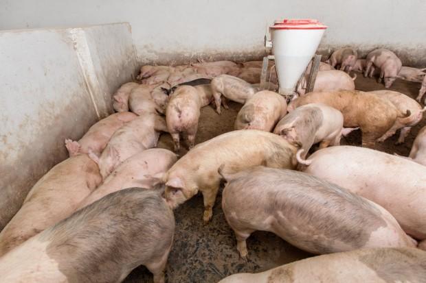 Ukraina: Spadek pogłowia zwierząt gospodarskich