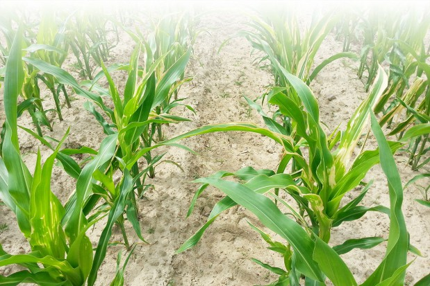 Pogłówne nawożenie kukurydzy ziarnowej azotem