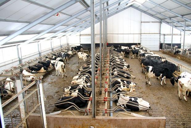 Komfort wypoczynku krów - strefa legowiskowa