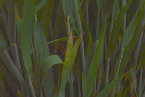 Wirus żółtej karłowatości jęczmienia nie oszczędza zbóż