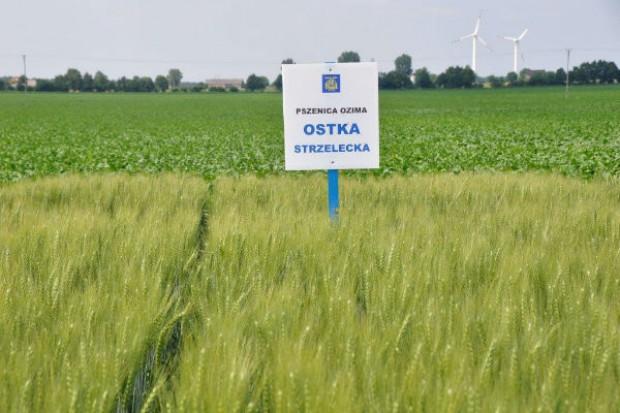 GUS: niewielkie straty w uprawach zbóż