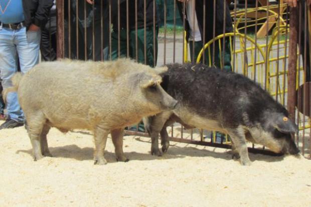 Świnie rodem z Węgier