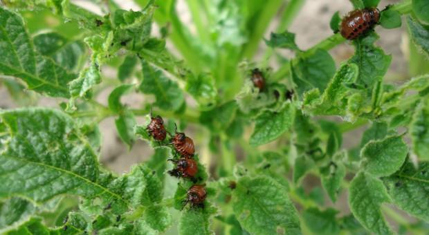 Są już larwy stonki ziemniaczanej