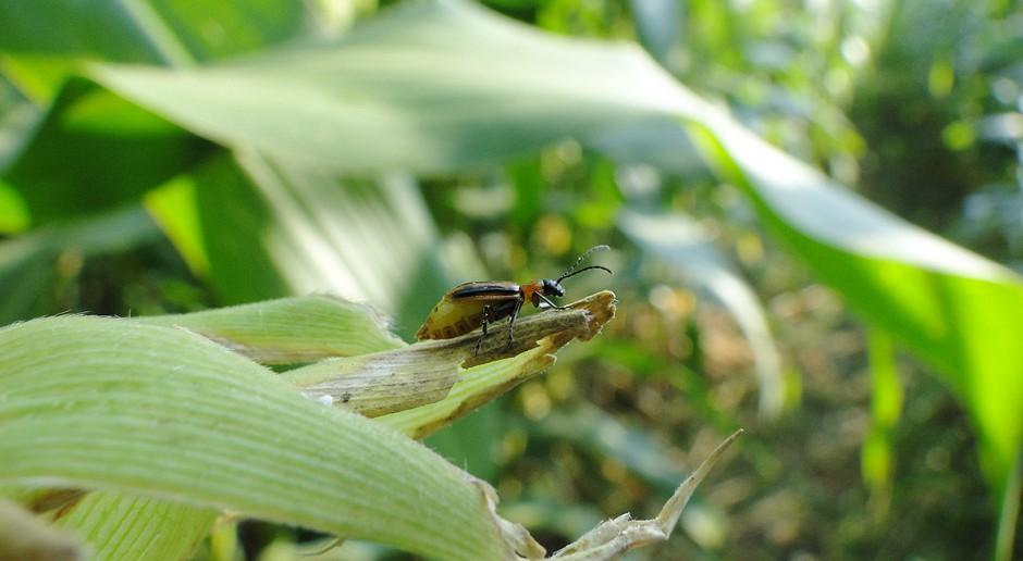 Stonka kukurydziana jako szkodnik niekwarantannowy