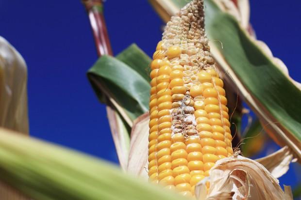 Mieszaniny insektycydowo-fungicydowe w kukurydzy