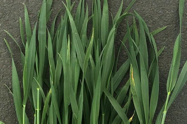 III dawka azotu, czyli walka o jakość pszenicy