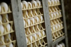 Z powodu ptasiej grypy Amerykanie zmuszeni do importu jajek