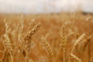 GUS: Niższe ceny wszystkich zbóż w maju