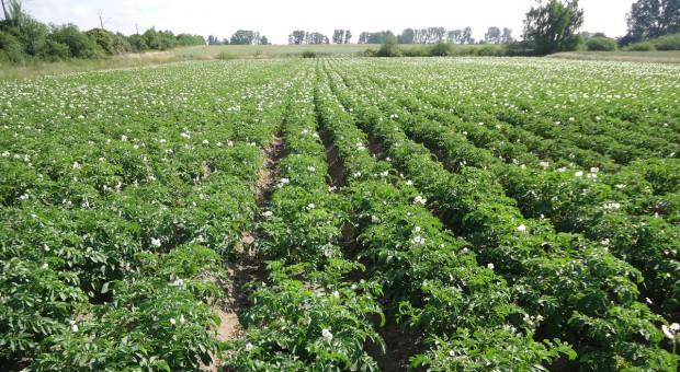 Deficyt wody zagrożeniem dla ziemniaków