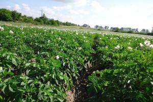 Zaraza ziemniaka – czas intensywnej ochrony ziemniaków