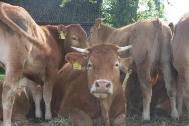 Wyhamowanie cen skupu bydła