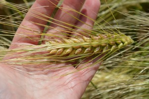 Prognozy produkcji pszenicy i jęczmienia obniżone