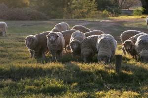 Copa-Cogeca za zapewnieniem rentowności produkcji owiec