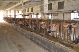 Zasady odstępstw w utrzymywaniu bydła w rolnictwie ekologicznym
