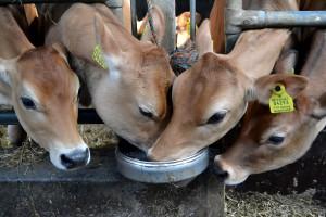 Woda – główna pozycja w letnim menu krowy mlecznej