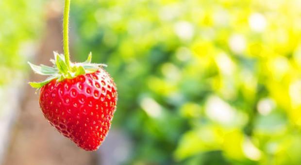 W gminie Bieliny nadal zbierają truskawki
