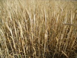 Susza na terenie powiatu płockiego - rolnicy już liczą straty
