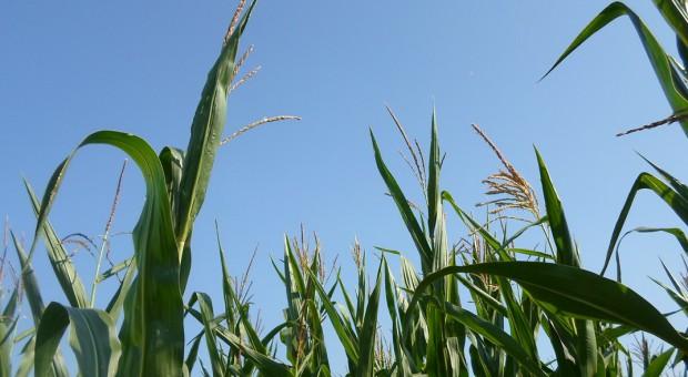 Zagrożenia w czasie wiechowania kukurydzy